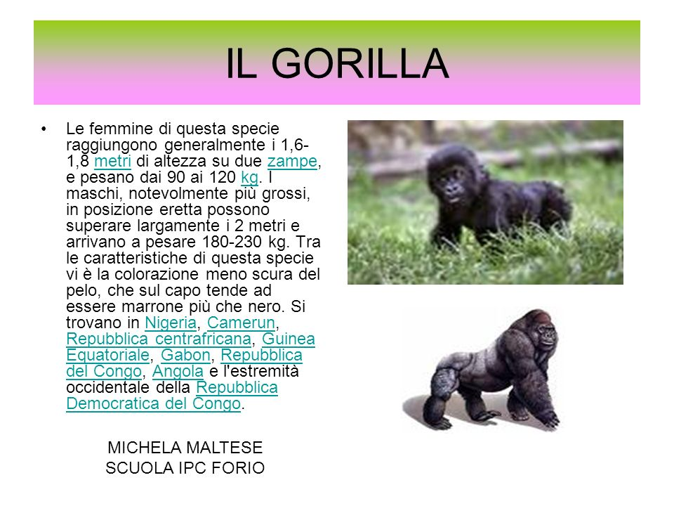 IL GORILLA
