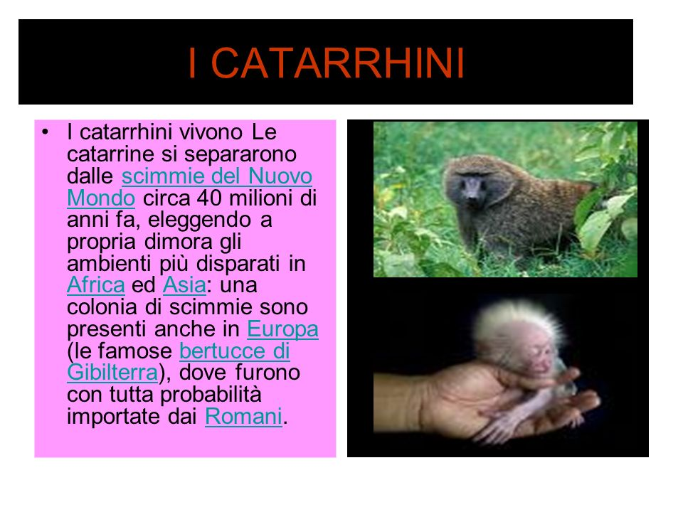 I CATARRHINI