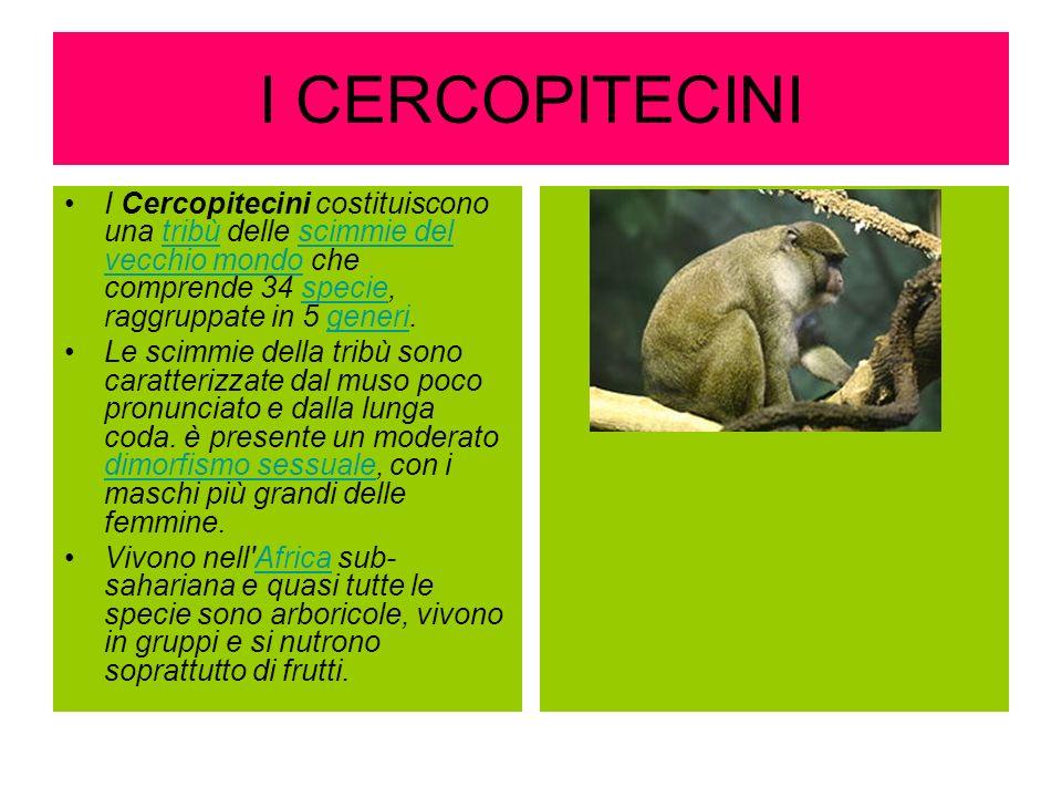 I CERCOPITECINI I Cercopitecini costituiscono una tribù delle scimmie del vecchio mondo che comprende 34 specie, raggruppate in 5 generi.