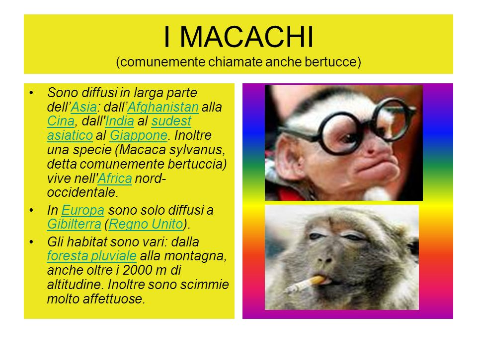 I MACACHI (comunemente chiamate anche bertucce)