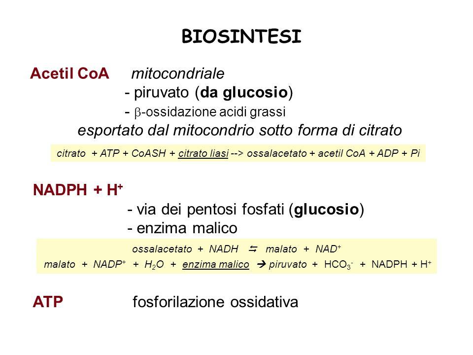 BIOSINTESI Acetil CoA mitocondriale - piruvato (da glucosio)