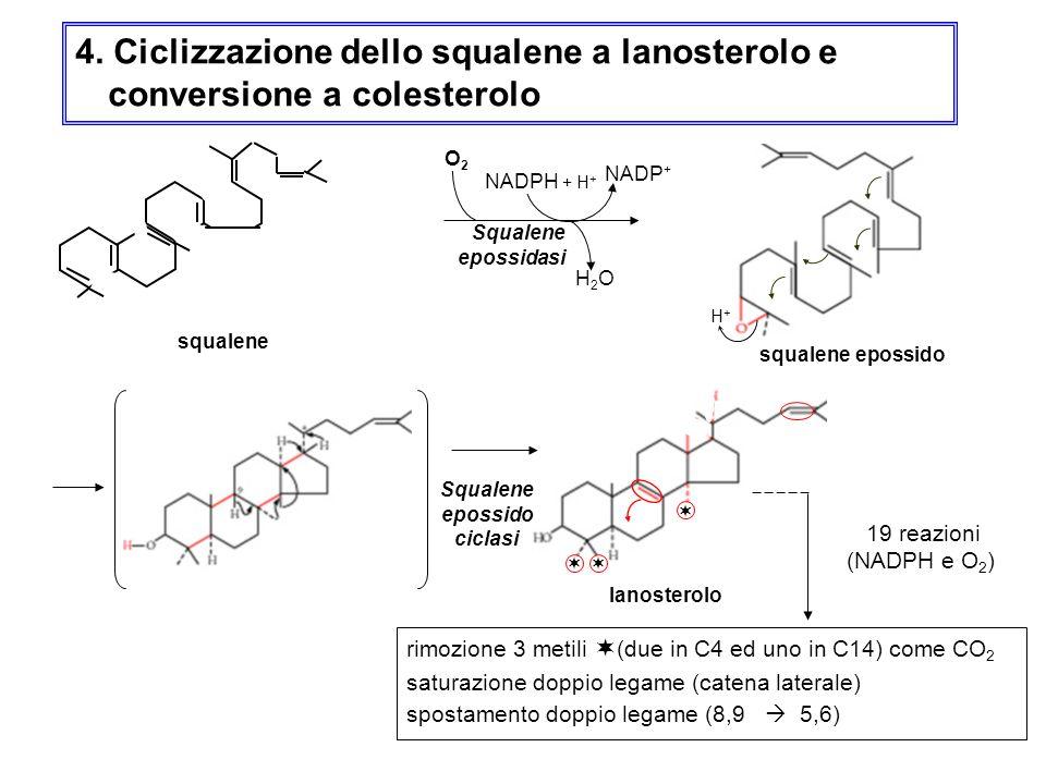 4. Ciclizzazione dello squalene a lanosterolo e conversione a colesterolo