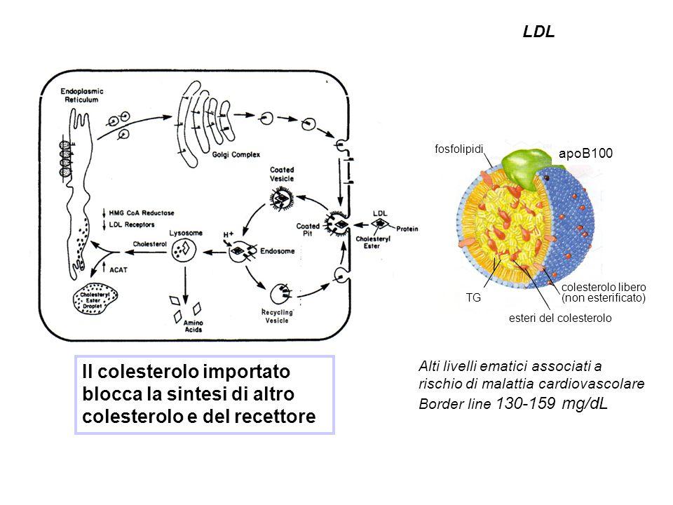 LDL apoB100. esteri del colesterolo. fosfolipidi. TG. colesterolo libero. (non esterificato)