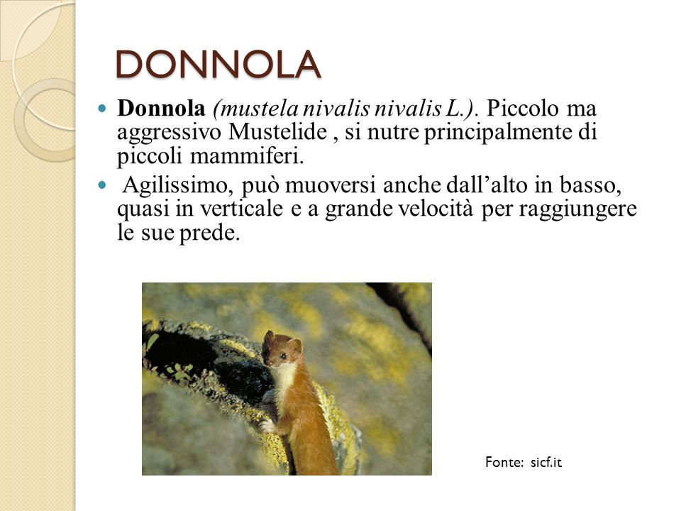 DONNOLA Donnola (mustela nivalis nivalis L.). Piccolo ma aggressivo Mustelide , si nutre principalmente di piccoli mammiferi.