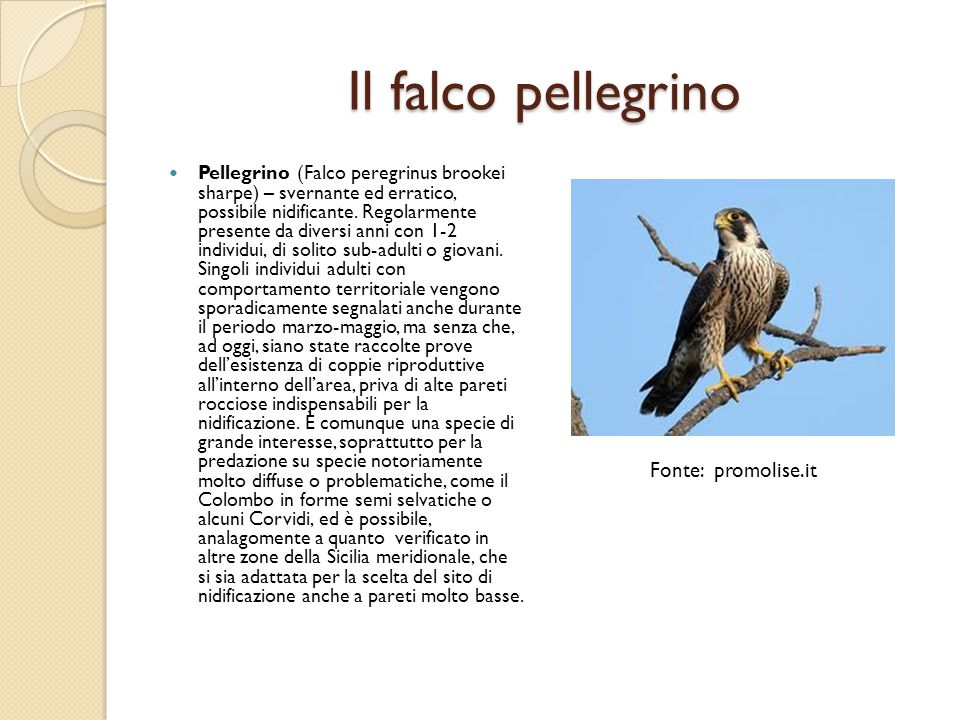 Il falco pellegrino Fonte: promolise.it