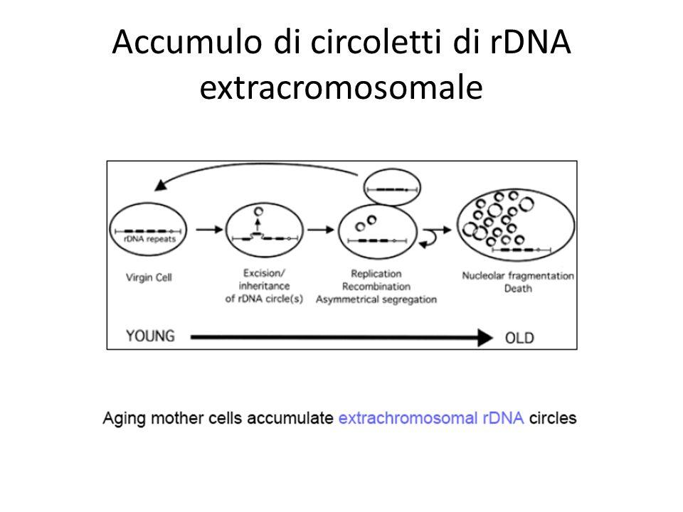 Accumulo di circoletti di rDNA extracromosomale