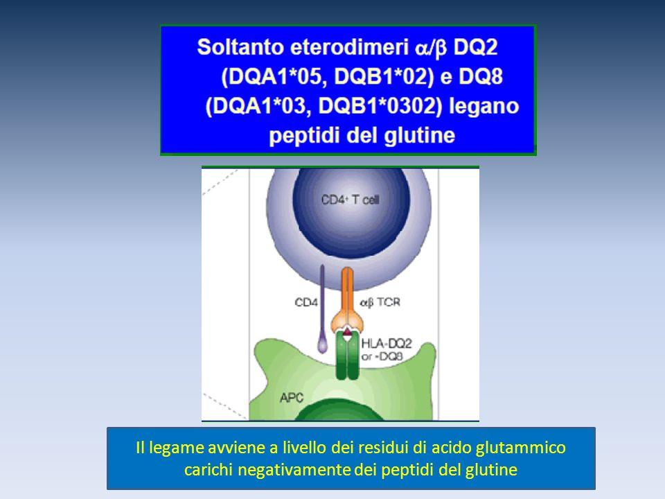 Il legame avviene a livello dei residui di acido glutammico carichi negativamente dei peptidi del glutine
