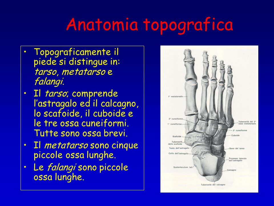 Anatomia topografica Topograficamente il piede si distingue in: tarso, metatarso e falangi.