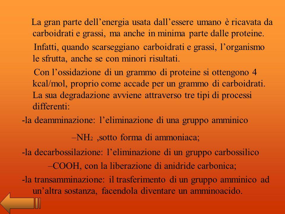 La gran parte dell'energia usata dall'essere umano è ricavata da carboidrati e grassi, ma anche in minima parte dalle proteine.