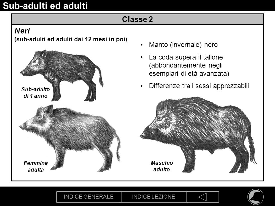Sub-adulti ed adulti Classe 2