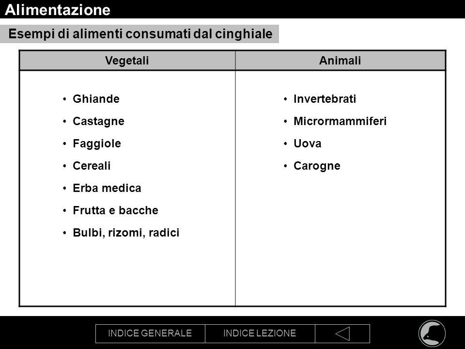 Alimentazione Esempi di alimenti consumati dal cinghiale Vegetali