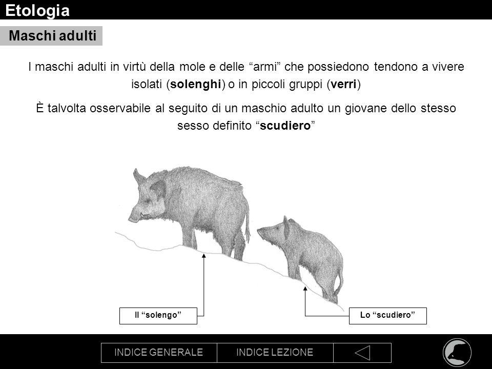 Etologia Maschi adulti