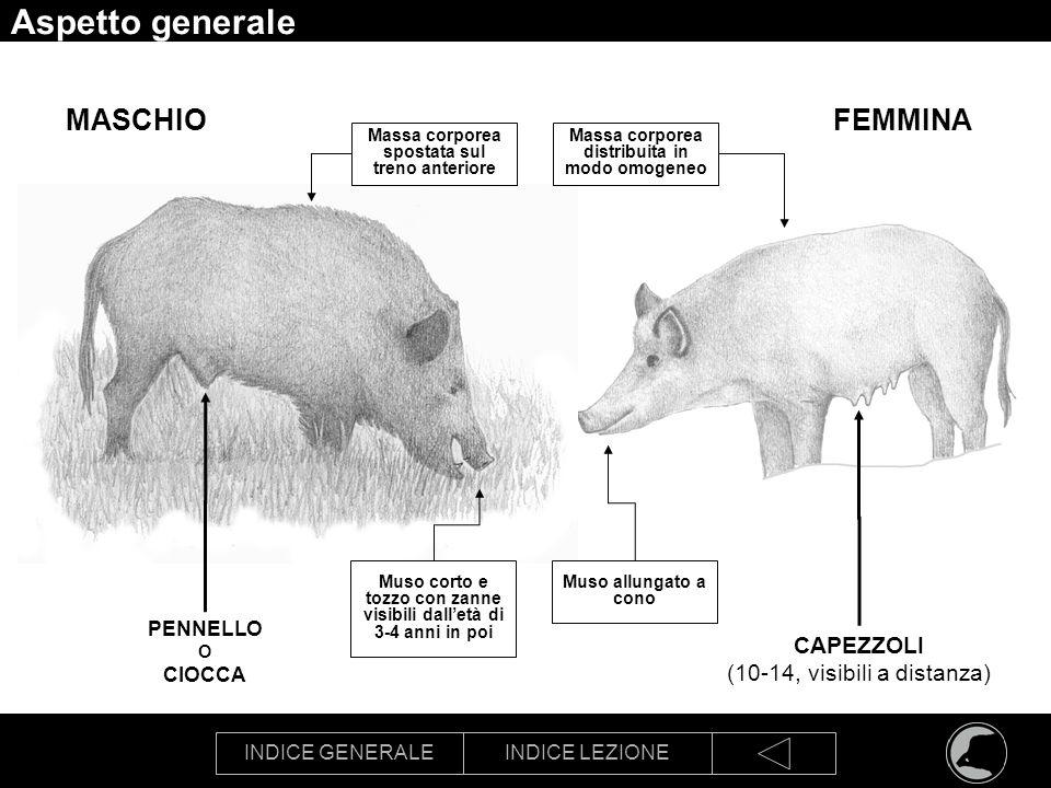 Aspetto generale MASCHIO FEMMINA