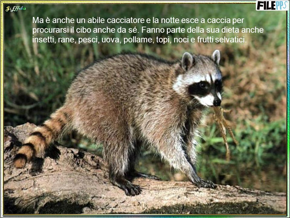 Ma è anche un abile cacciatore e la notte esce a caccia per procurarsi il cibo anche da sé.