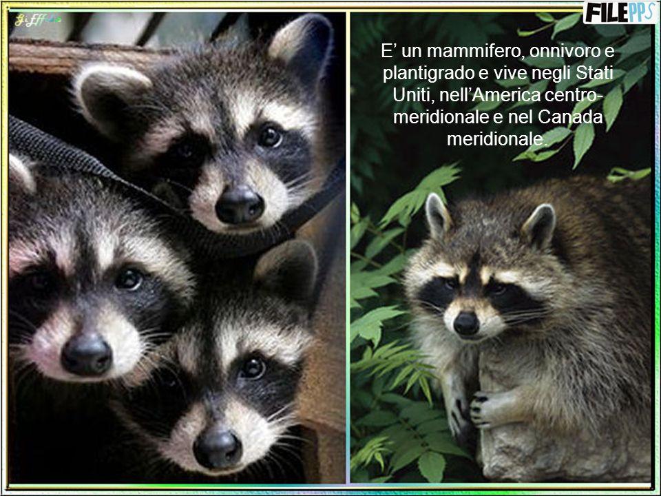 E' un mammifero, onnivoro e plantigrado e vive negli Stati Uniti, nell'America centro-meridionale e nel Canada meridionale.