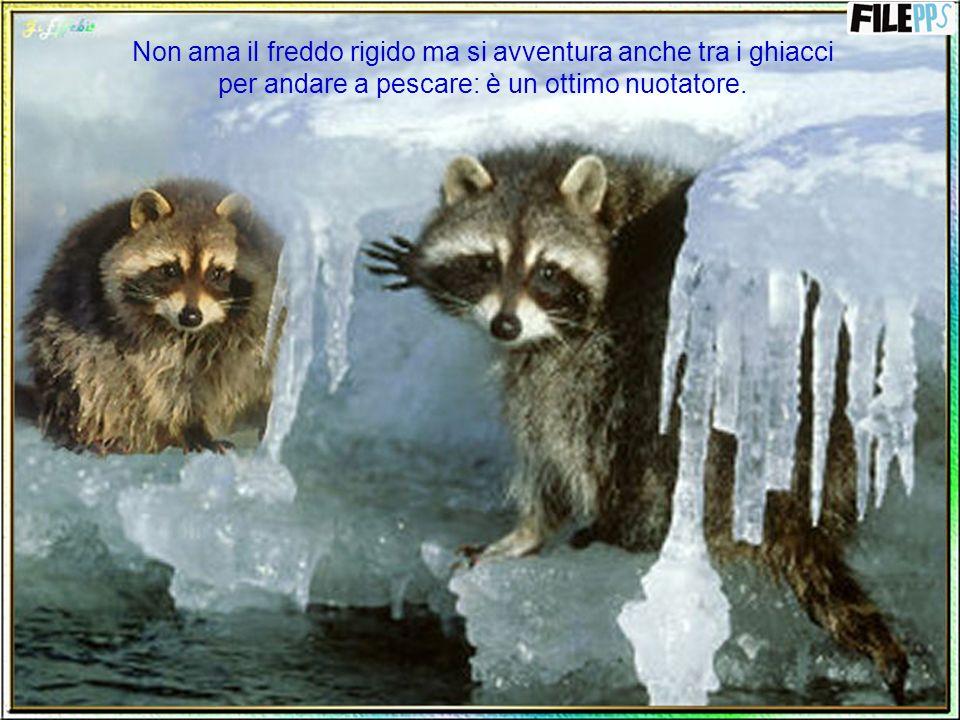 Non ama il freddo rigido ma si avventura anche tra i ghiacci