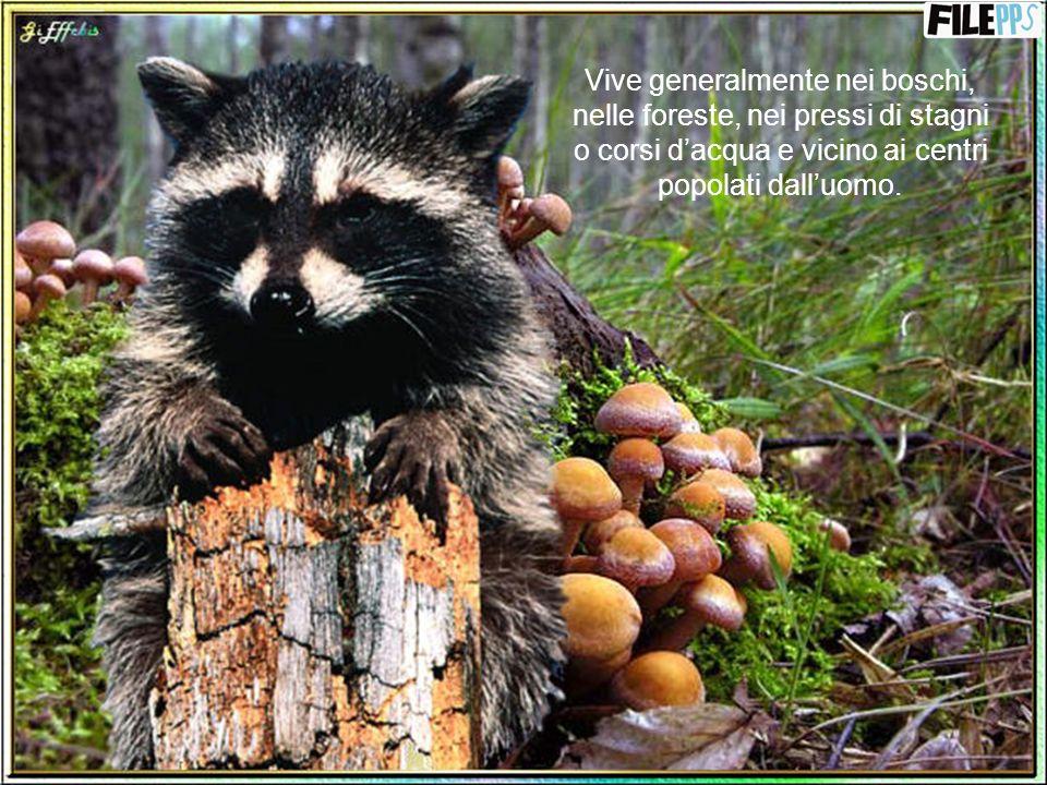 Vive generalmente nei boschi, nelle foreste, nei pressi di stagni o corsi d'acqua e vicino ai centri popolati dall'uomo.