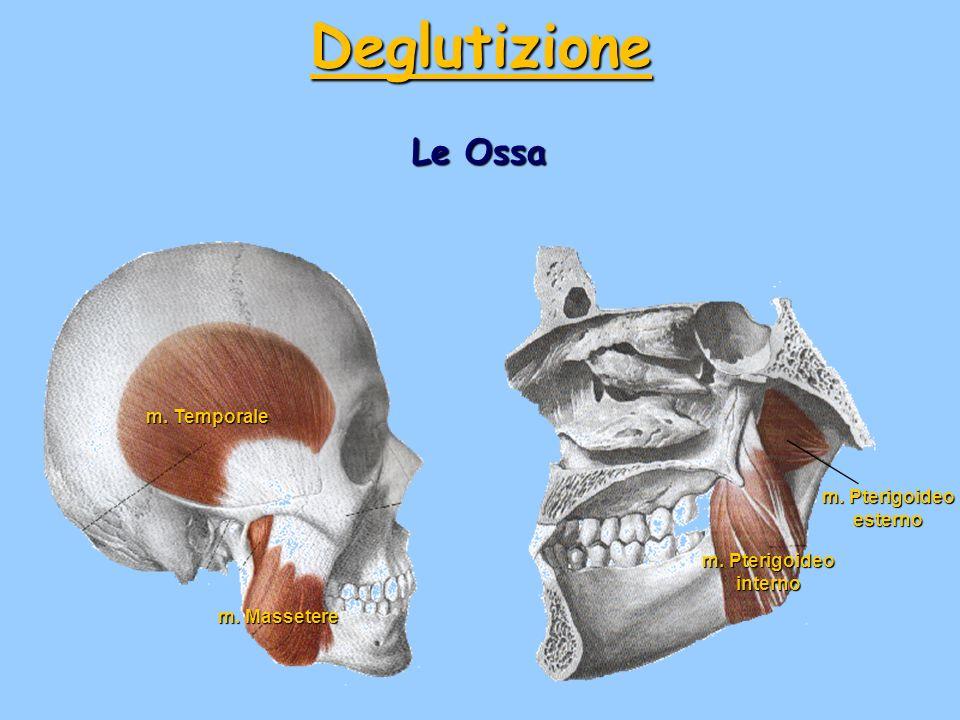 Deglutizione Le Ossa m. Temporale m. Pterigoideo esterno