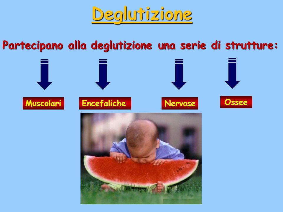 Deglutizione Partecipano alla deglutizione una serie di strutture: