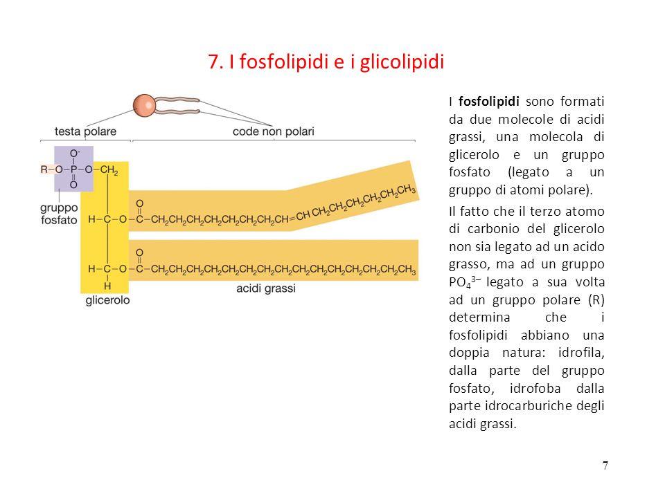 7. I fosfolipidi e i glicolipidi