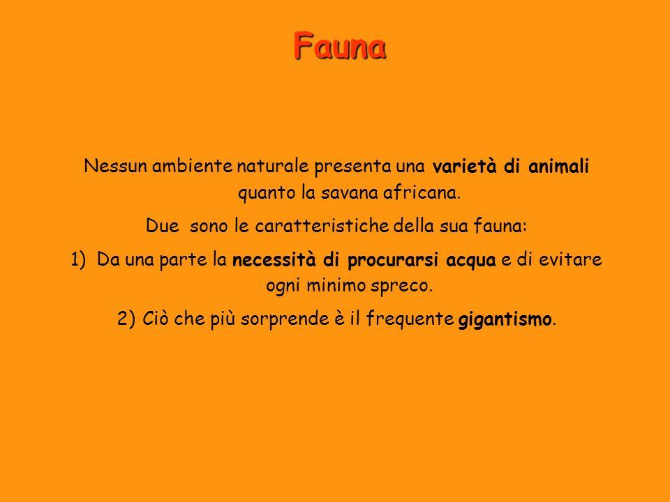 Fauna Nessun ambiente naturale presenta una varietà di animali quanto la savana africana. Due sono le caratteristiche della sua fauna: