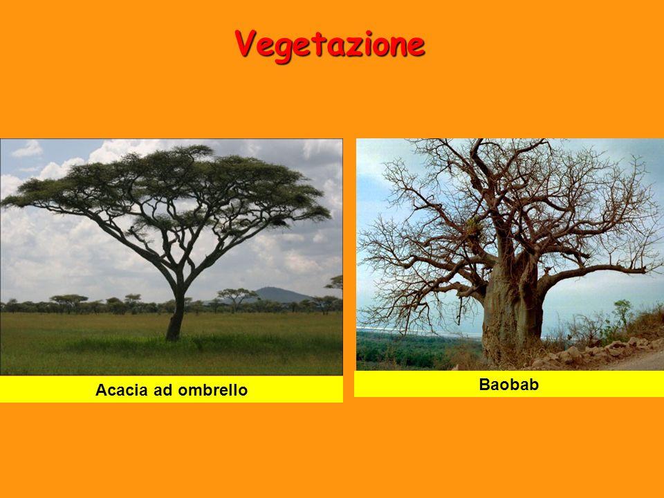 Vegetazione Baobab Acacia ad ombrello