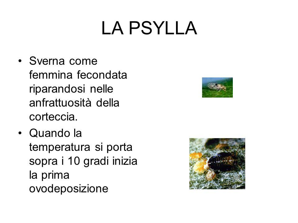LA PSYLLA Sverna come femmina fecondata riparandosi nelle anfrattuosità della corteccia.