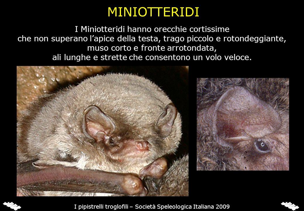 MOLOSSIDI I Molossidi hanno orecchie rotonde e carnose, muso che ricorda quello. di un cane e coda lunga e grossa che sporge dalla membrana alare.
