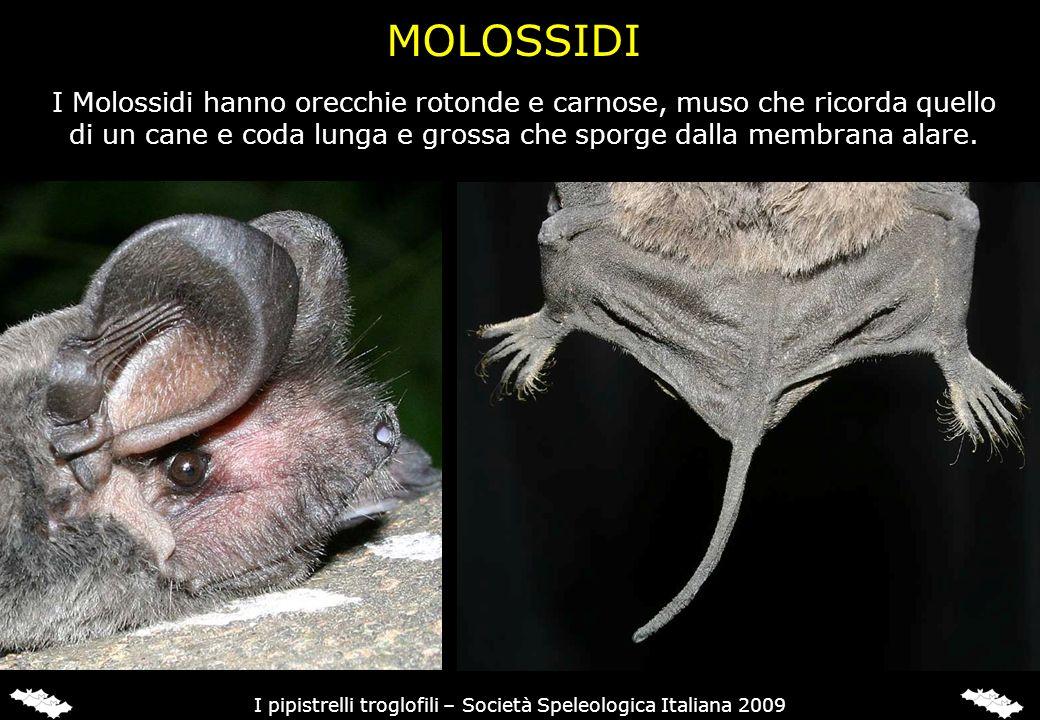 FAMIGLIA RINOLOFIDI In Italia sono presenti 4 Rinolofidi, tutti troglofili: Rinolofo maggiore (Rhinolophus ferrumequinum)