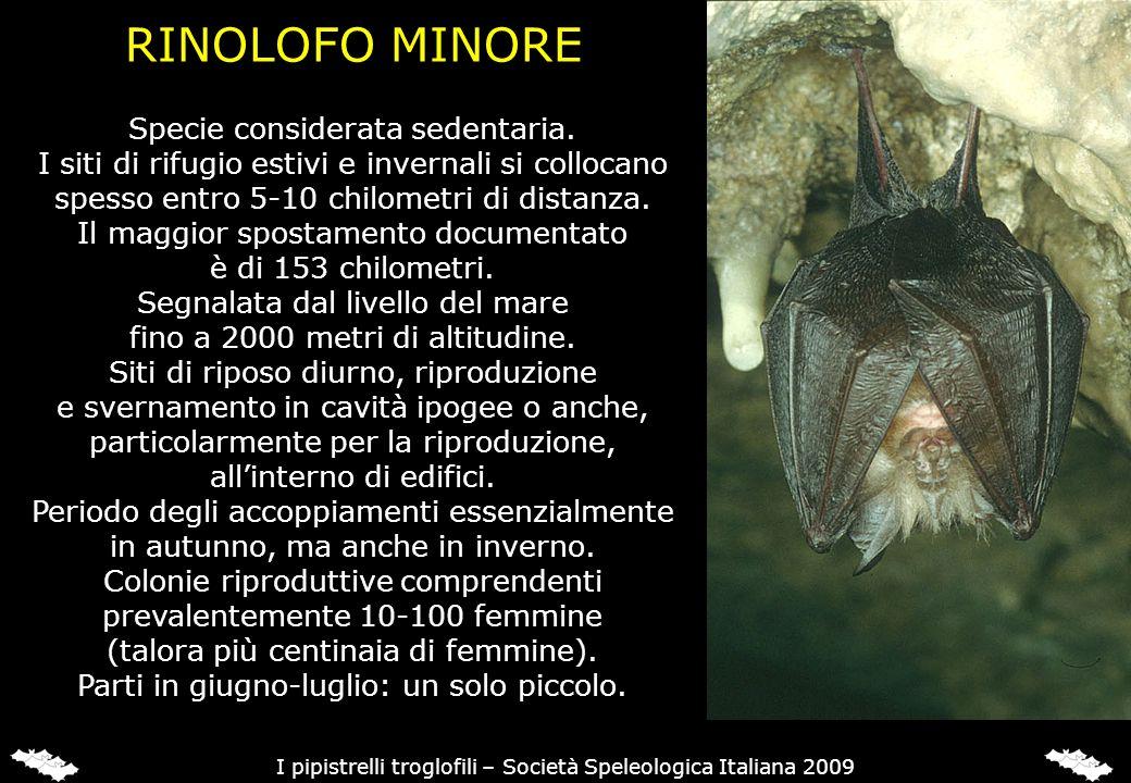 RINOLOFO EURIALE (Rhinolophus euryale)