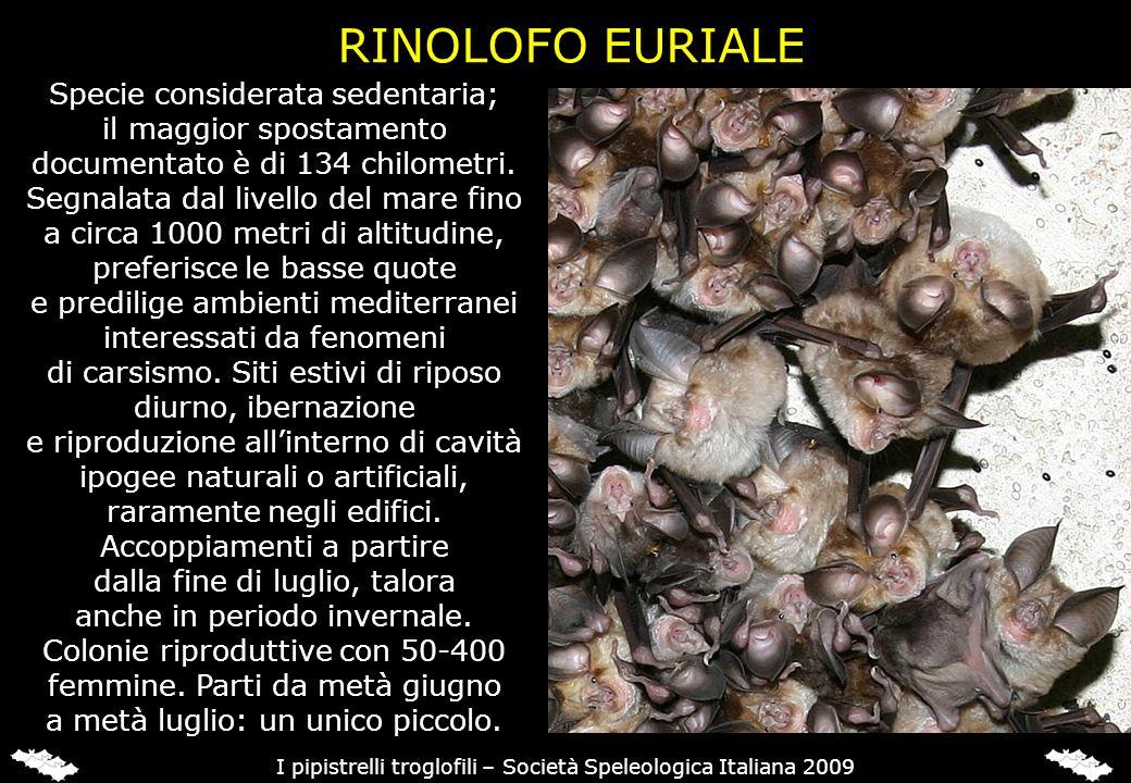 RINOLOFO DI MEHELY (Rhinolophus mehelyi)