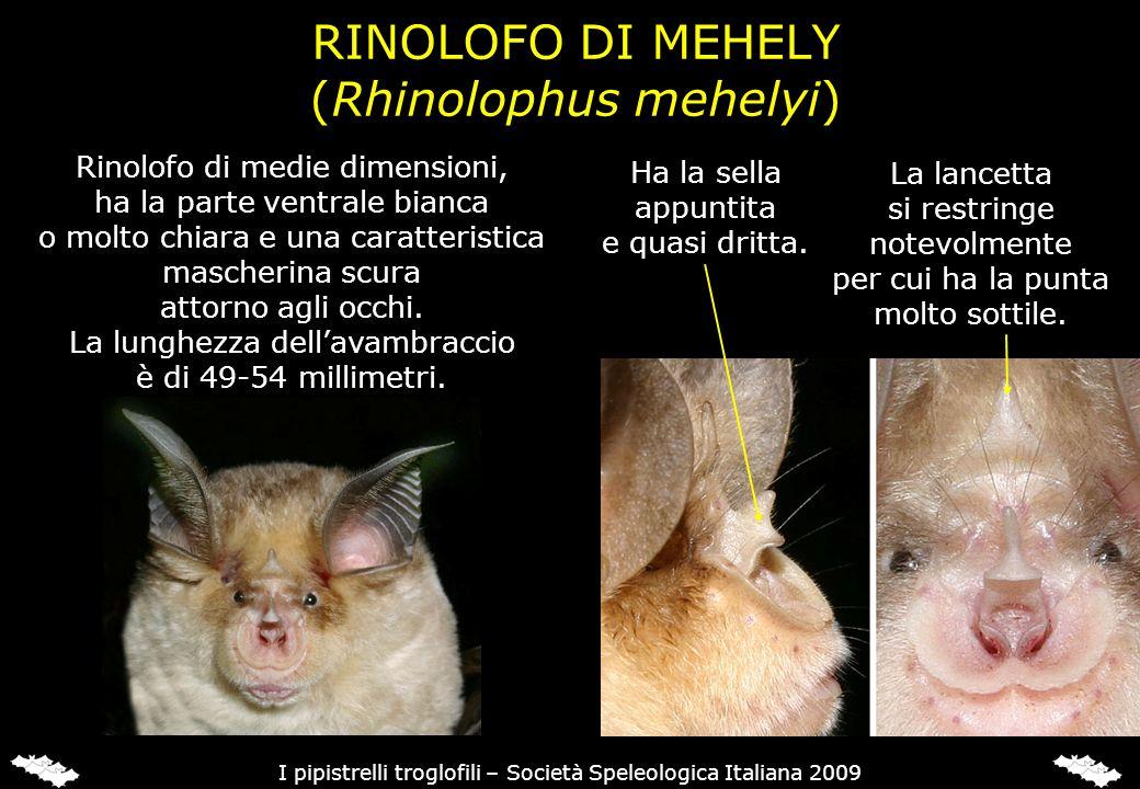 RINOLOFO DI MEHELY In Italia è segnalata in Sardegna e Sicilia.