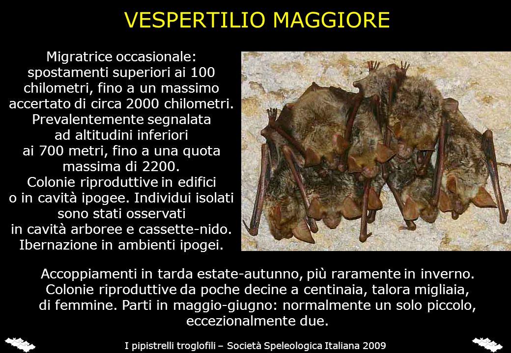 VESPERTILIO MINORE (Myotis blythii)