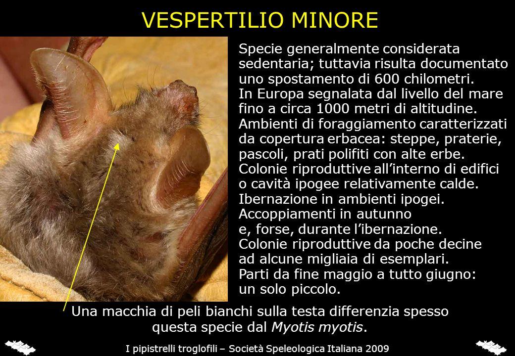 VESPERTILIO MAGHREBINO (Myotis punicus)