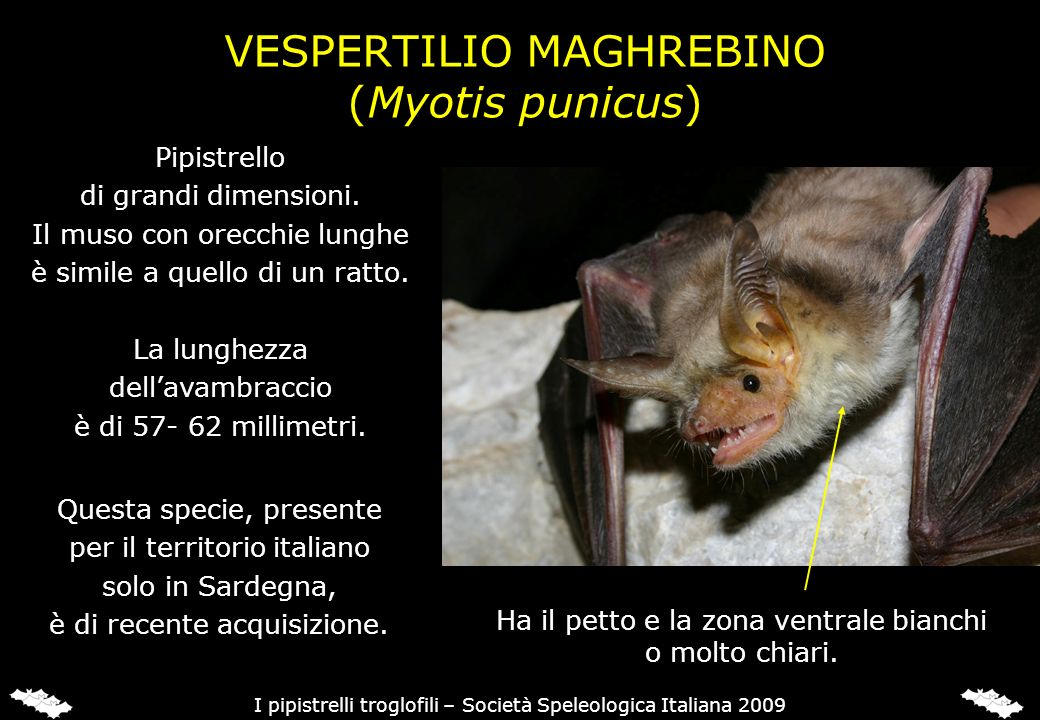 VESPERTILIO MAGHREBINO
