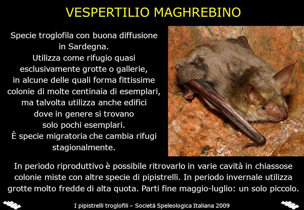 VESPERTILIO DI CAPACCINI (Myotis capaccinii)