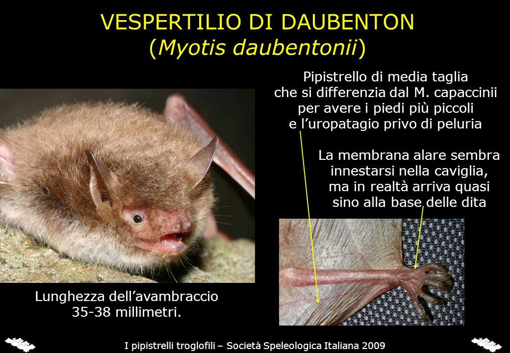 VESPERTILIO DI DAUBENTON