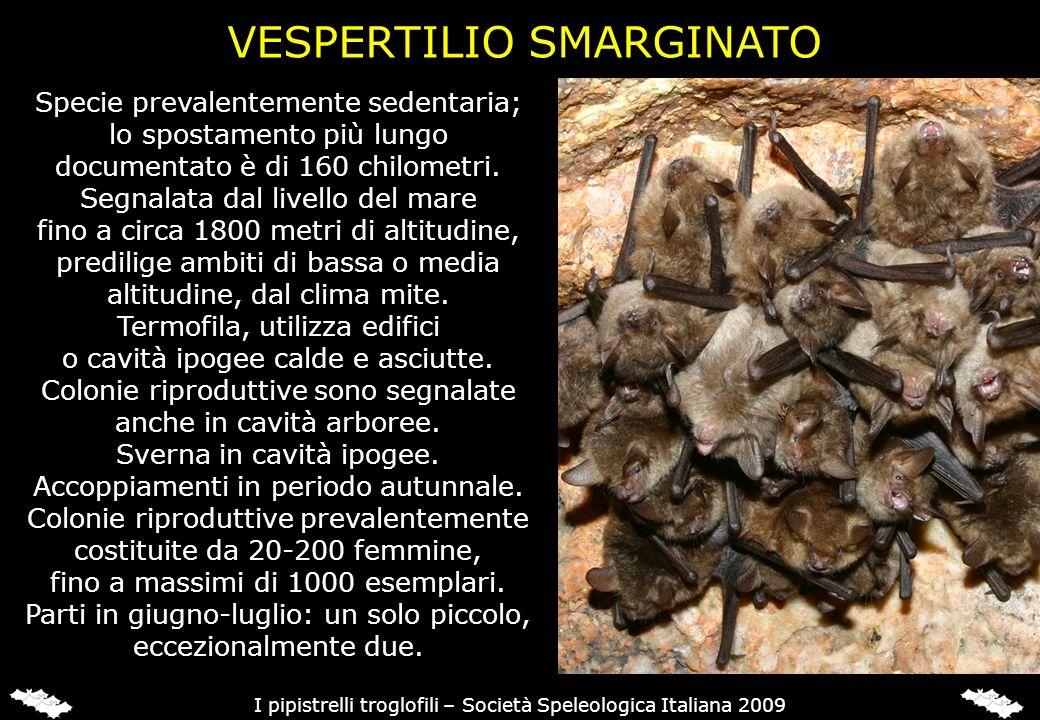 ORECCHIONI (Plecotus sp.)