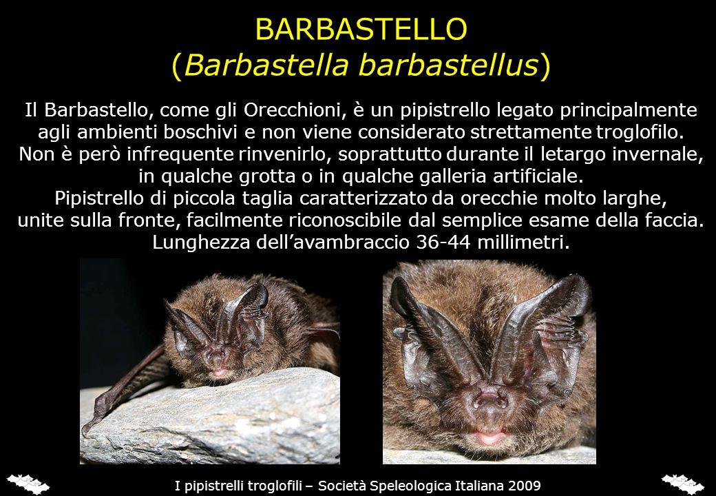 (Miniopterus schreibersii)