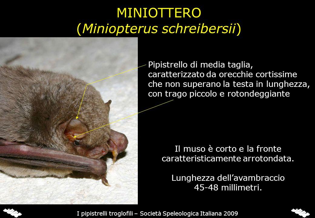 MINIOTTERO Specie migratoria, con grandi spostamenti stagionali documentati sino a 550 chilometri.