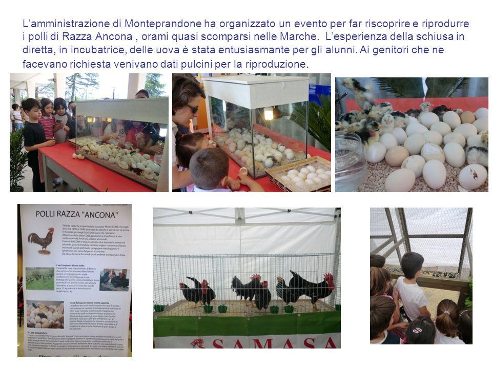 L'amministrazione di Monteprandone ha organizzato un evento per far riscoprire e riprodurre i polli di Razza Ancona , orami quasi scomparsi nelle Marche.