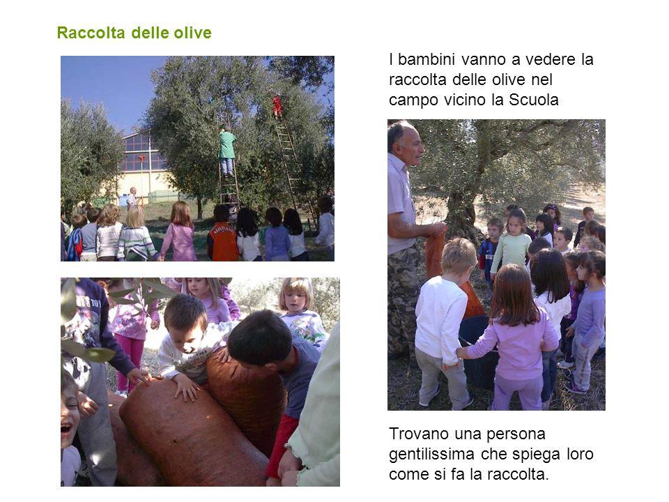 Raccolta delle olive I bambini vanno a vedere la raccolta delle olive nel campo vicino la Scuola.