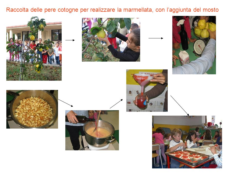 Raccolta delle pere cotogne per realizzare la marmellata, con l'aggiunta del mosto