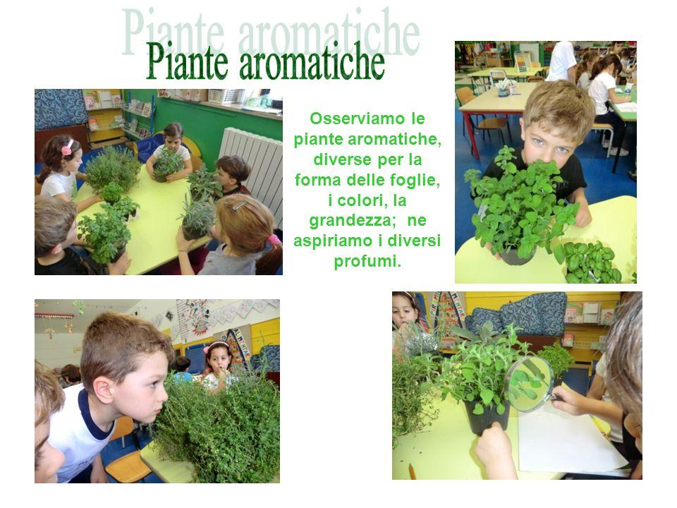 Piante aromatiche Osserviamo le piante aromatiche, diverse per la forma delle foglie, i colori, la grandezza; ne aspiriamo i diversi profumi.