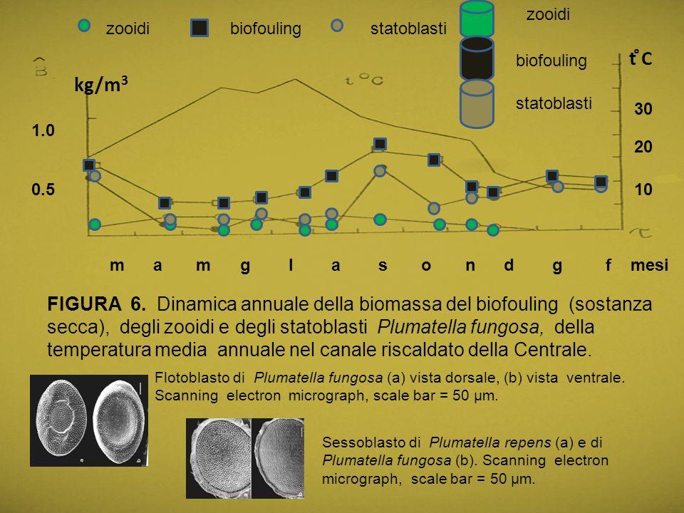 zooidi zooidi. biofouling. statoblasti. t ̊C. biofouling. kg/m3. statoblasti. 30. 1.0. 20.