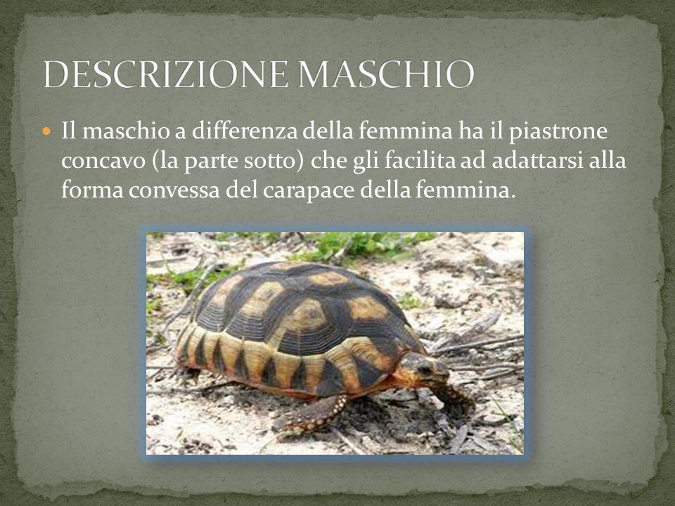 DESCRIZIONE MASCHIO