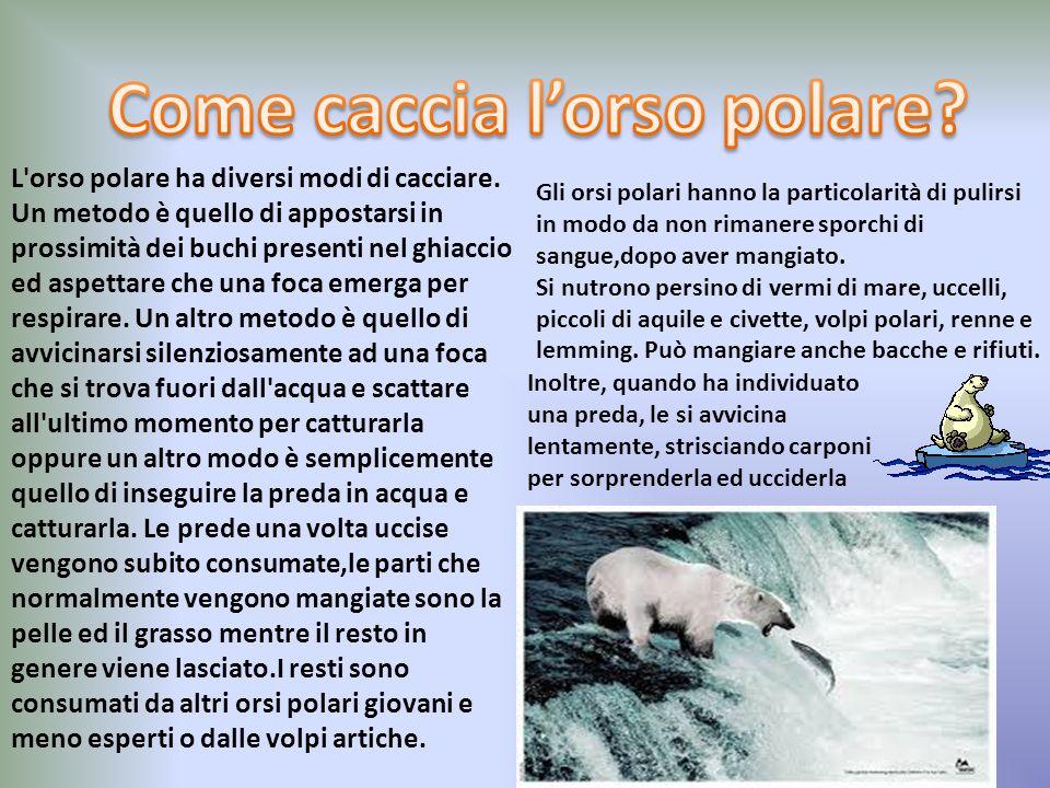 Come caccia l'orso polare