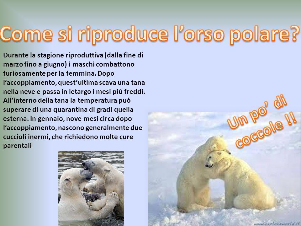 Come si riproduce l'orso polare