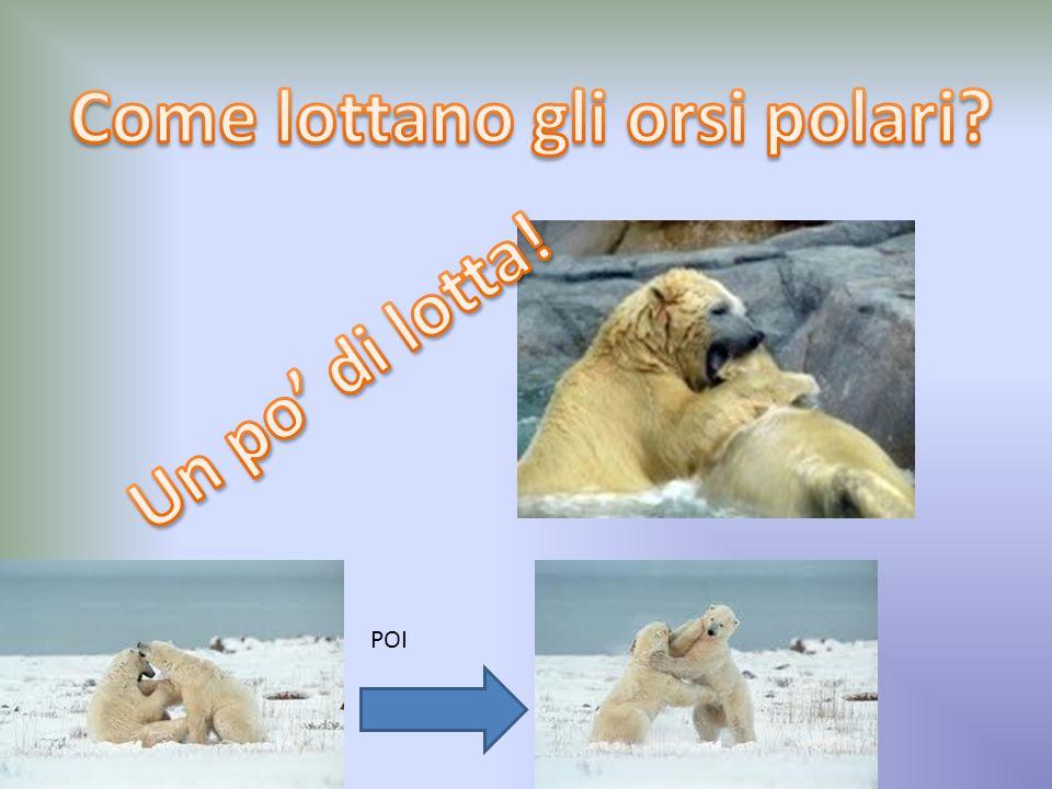 Come lottano gli orsi polari