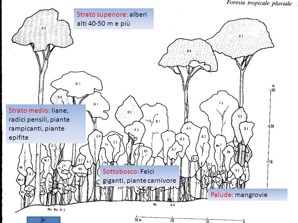 Strato superiore: alberi alti 40-50 m e più
